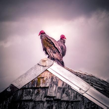 Chiloe. - Crows, Fujifilm FinePix S1600