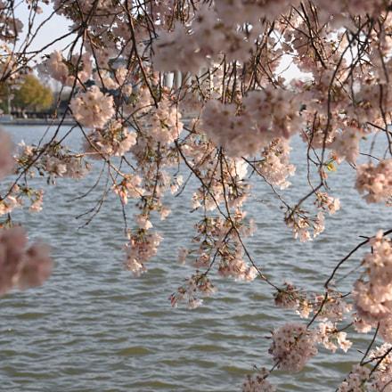 Cherry petals courtain, Nikon D810, AF-S Nikkor 24-120mm f/4G ED VR