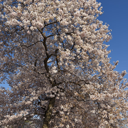Cherry tree, Nikon D810, AF-S Nikkor 24-120mm f/4G ED VR