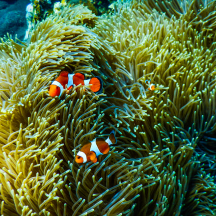 Bali Tulamben Clownfish, Nikon COOLPIX AW130s
