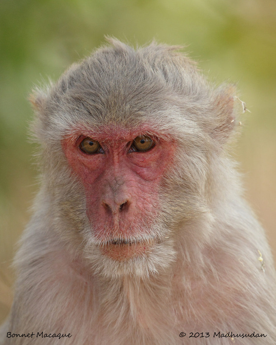 Photograph Bonnet Macaque by Madhusudan  on 500px