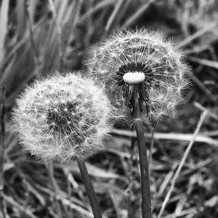 Dandelion, Nikon E8800