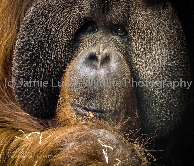 Photograph Male Orangutan by Jamie Lucas Photography on 500px
