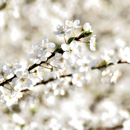 White and soft, Nikon D7200, Sigma 18-250mm F3.5-6.3 DC Macro OS HSM