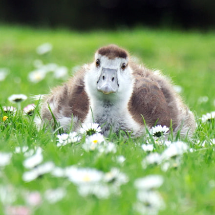 Wild Goose child in, Canon EOS M10, Canon EF-M 55-200mm f/4.5-6.3 IS STM