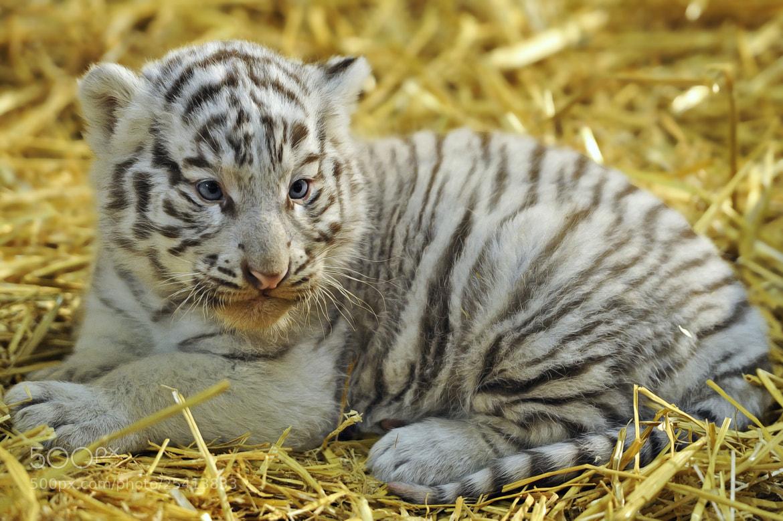Photograph White Tiger - 5 weeks by Josef Gelernter on 500px