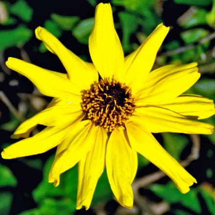 Gold Daisy Flower, Canon POWERSHOT SX60 HS, 3.8 - 247.0 mm