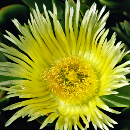 Yellow Dandelion Flower, Canon POWERSHOT SX60 HS, 3.8 - 247.0 mm