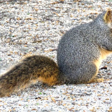 A Squirrel Eating In, Canon POWERSHOT SX60 HS, 3.8 - 247.0 mm