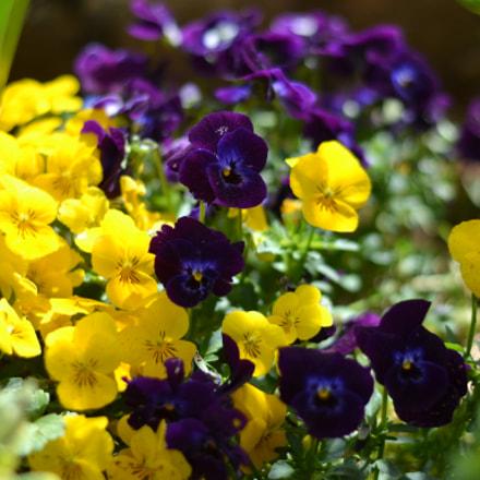 Les joies du printemps, Nikon D3100, AF-S Nikkor 50mm f/1.8G