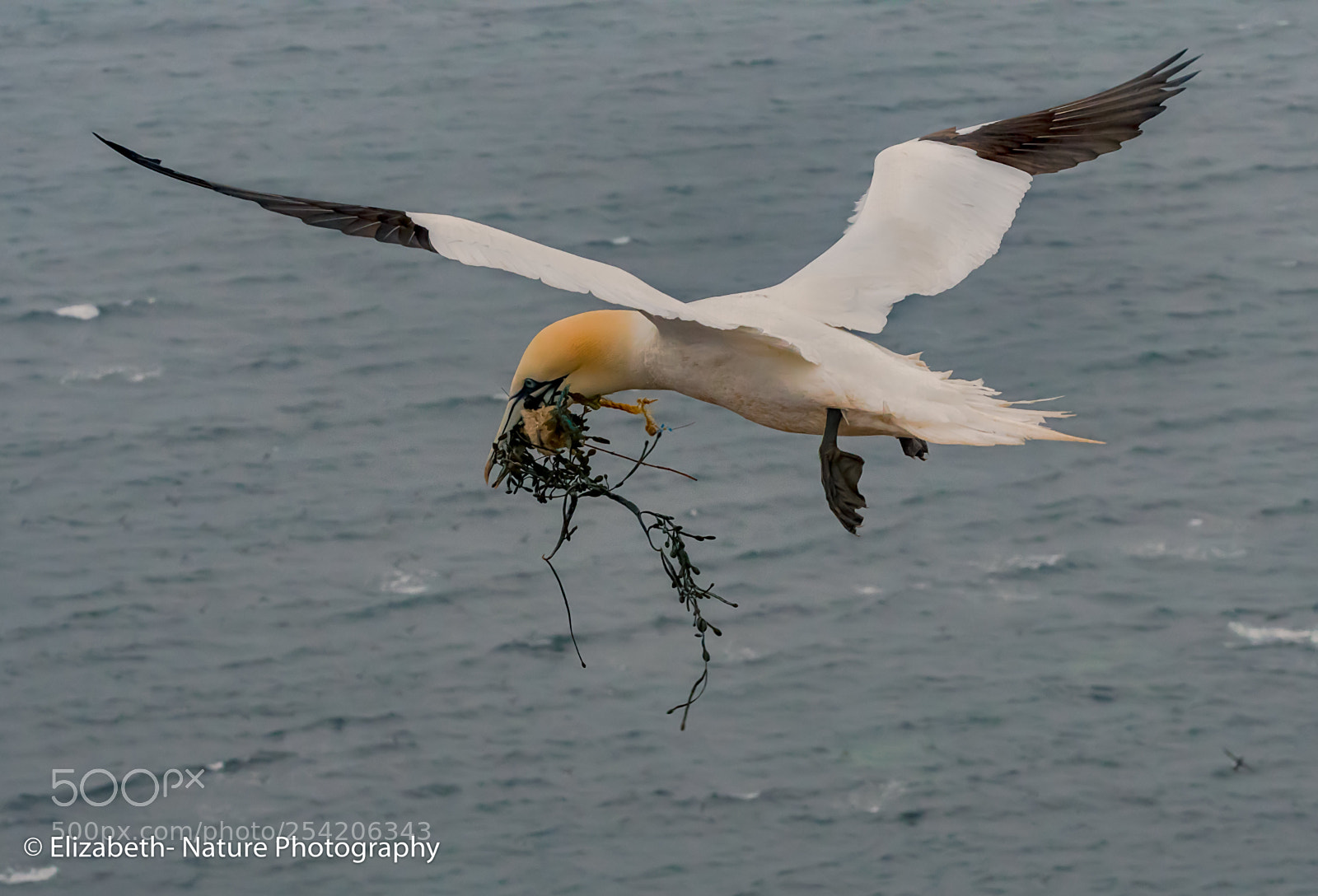 Northern gannet with nesting, Nikon D500, Sigma Macro 105mm F2.8 EX DG OS HSM