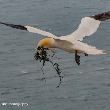 Northern gannet with nesting, Nikon D500, Sigma Macro 105mm F2.8 EX DG OS HSM
