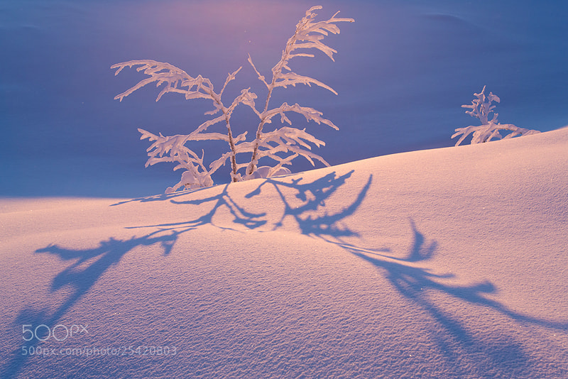 Photograph Birch in pink'n'blue by Christine Sonvilla on 500px