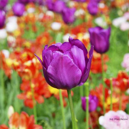Tulips, Nikon D500, AF-S DX Nikkor 18-300mm f/3.5-5.6G ED VR