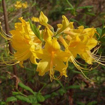 Yellow flower , Sony DSC-QX10