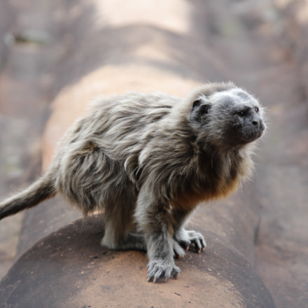Titi Monkey, Canon EOS REBEL T2I, Canon EF 28-135mm f/3.5-5.6 IS