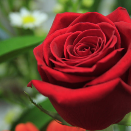 Red Rose, Canon EOS REBEL T2I, Canon EF 28-135mm f/3.5-5.6 IS