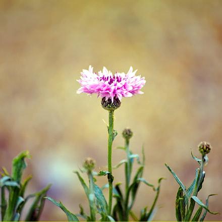 In pink..., Nikon D750, Sigma 70-300mm F4-5.6 APO Macro Super II