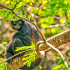 Spider mokey in Chiapas