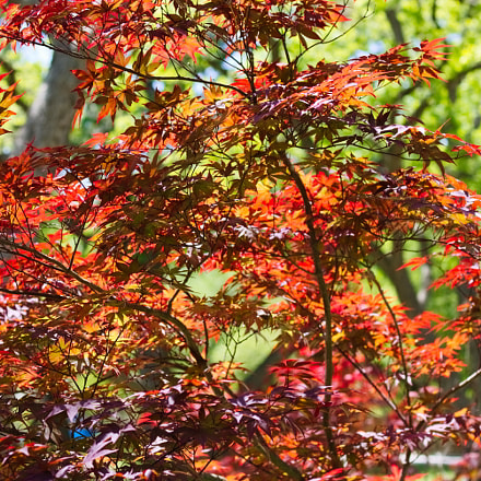 Japanese Maple, Canon EOS REBEL T6I, Canon EF 50mm f/1.8 STM
