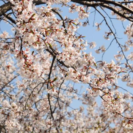 sakura, Nikon D300, AF Zoom-Nikkor 24-85mm f/2.8-4D IF