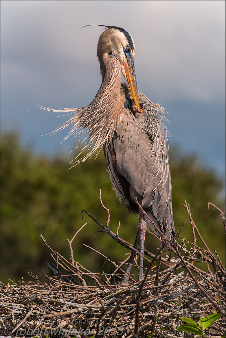 Photograph Great Blue Heron by Robert Whitaker on 500px