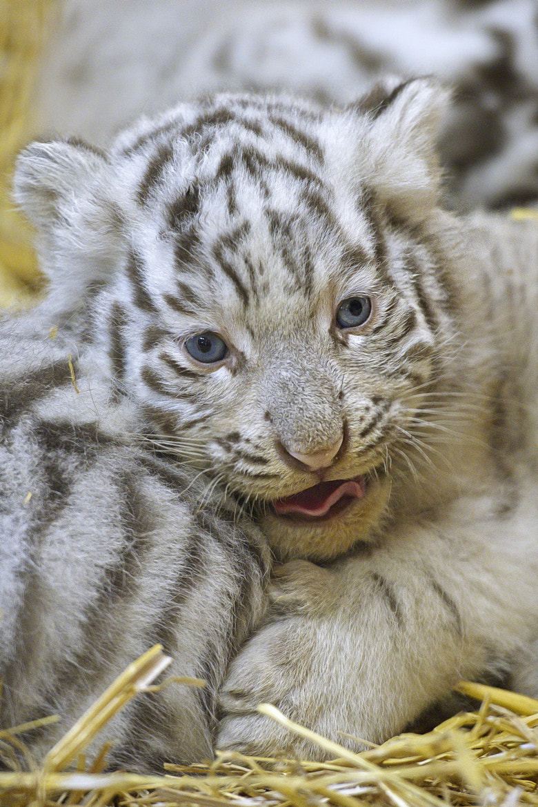 Photograph white tigerbaby 3 by Jutta Kirchner on 500px