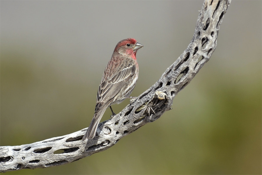 Photograph House Finch. by Luis Jaime Leal on 500px