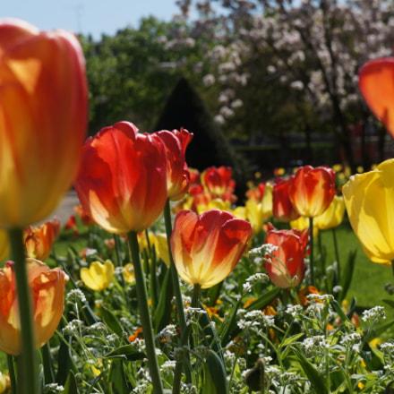 Tulipes, Sony NEX-5N, Sony E 18-55mm F3.5-5.6 OSS