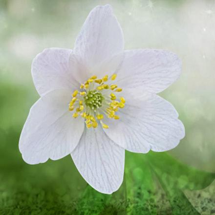 one white anemone, Canon POWERSHOT SX20 IS