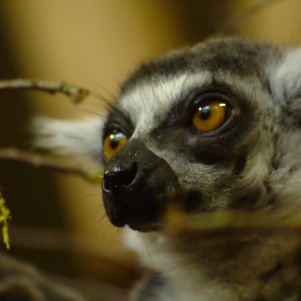 Lemur (close up), Canon EOS 100D, Sigma 70-300mm f/4-5.6 [APO] DG Macro