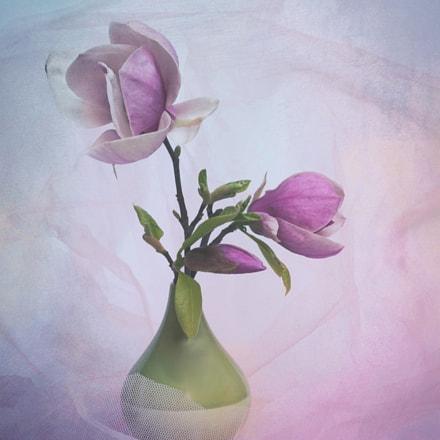magnoliowa wiosna, Canon EOS 5D MARK III, Canon EF 24-70mm f/4L IS USM