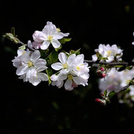 Elma çiçeği, Nikon D3100, AF-S DX Zoom-Nikkor 55-200mm f/4-5.6G ED