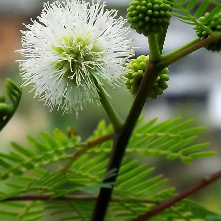 Leucaena leucocephala, Fujifilm FinePix SL300