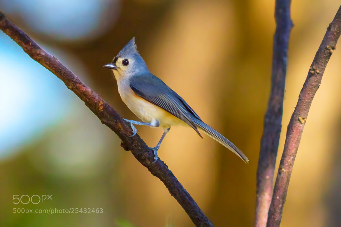 Photograph Tufted Titmouse by George Bloise on 500px