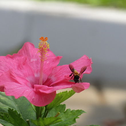 Busy busy Bee.., Canon POWERSHOT SX410 IS
