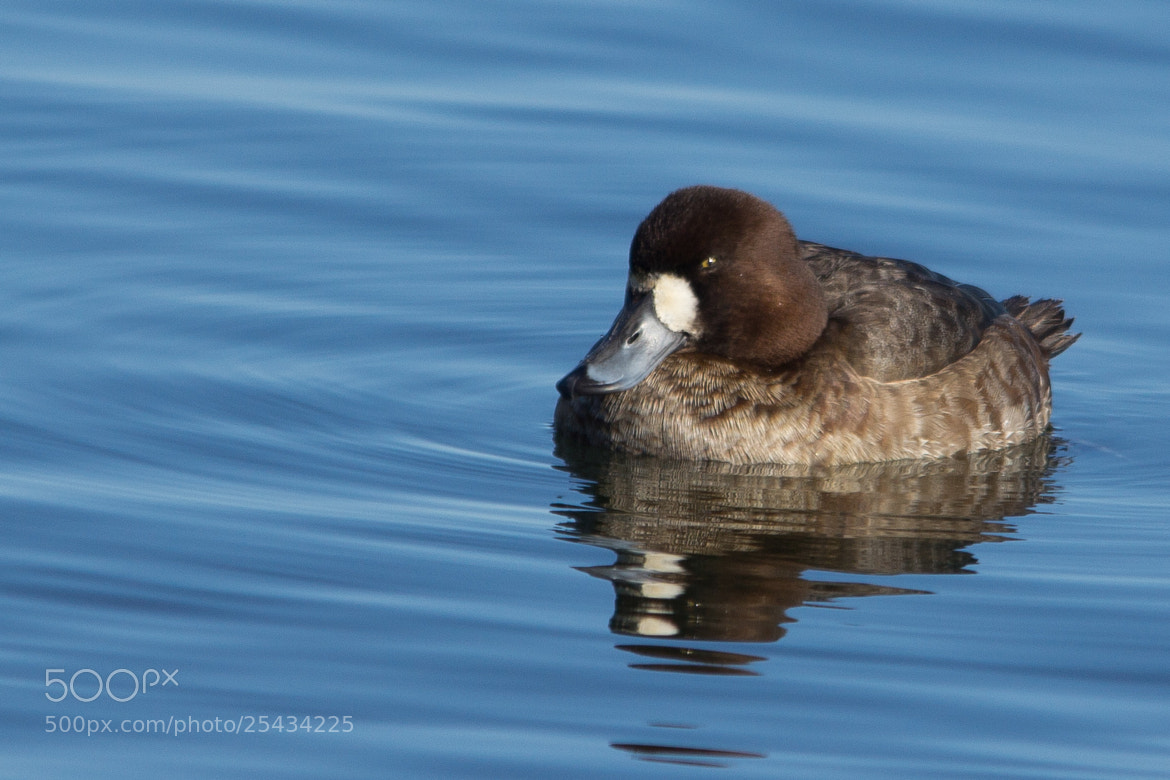 Photograph Scaup by Gail MacLellan on 500px