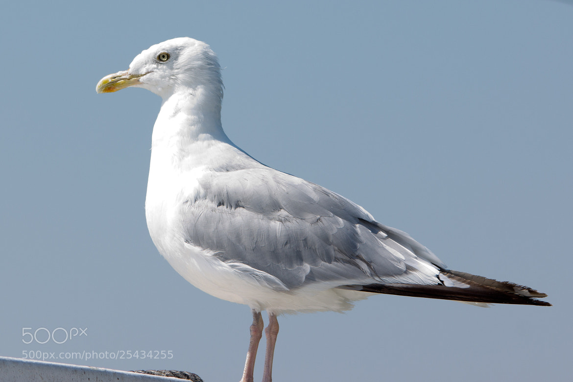 Photograph Herring Gull by Gail MacLellan on 500px