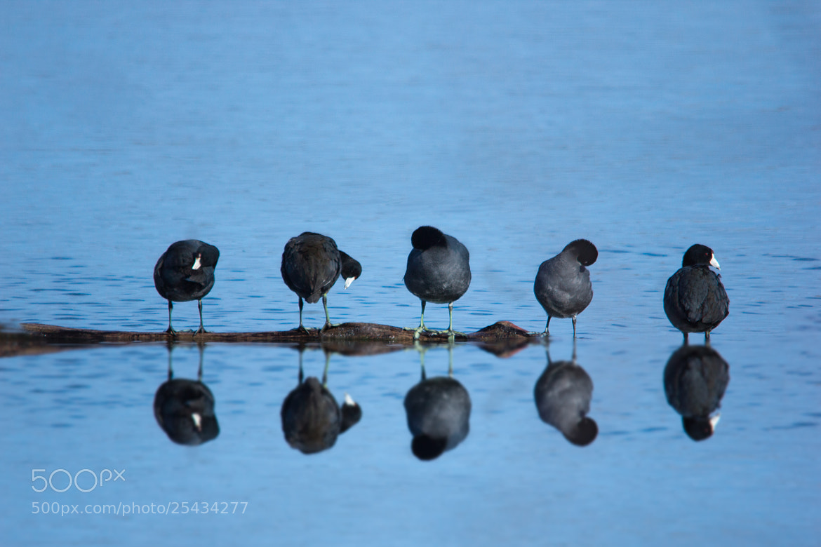 Photograph American Coot by Gail MacLellan on 500px