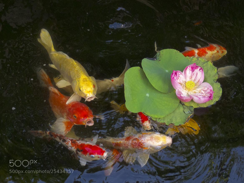 Photograph Koi fish- 年年有余。 by FaceChoo Yong on 500px