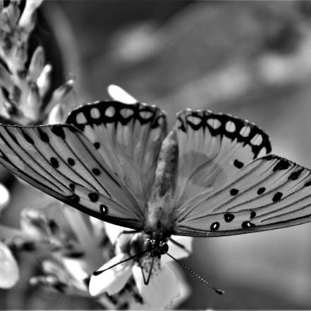 (Butterfly on a Flower), Nikon D5500, AF-S DX VR Zoom-Nikkor 55-200mm f/4-5.6G IF-ED