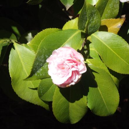 Camellia, Fujifilm FinePix S2950