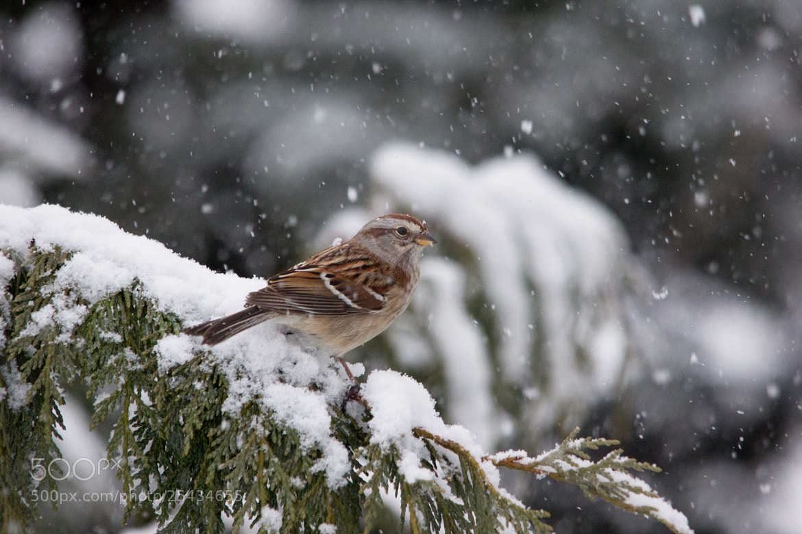 Photograph American Tree Sparrow by Gail MacLellan on 500px