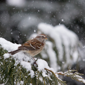 American Tree Sparrow by Gail MacLellan (GailMacLellan)) on 500px.com