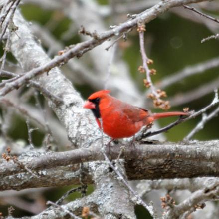 Cardinal In My Plum, RICOH PENTAX KP, Sigma 120-400mm F4.5-5.6 APO DG OS HSM