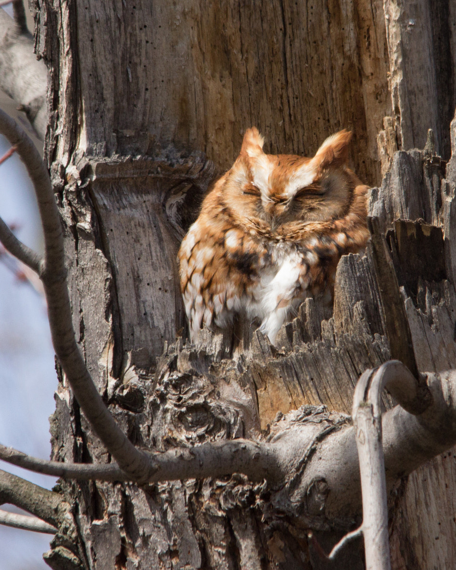 Photograph Eastern Screech Owl by Gail MacLellan on 500px