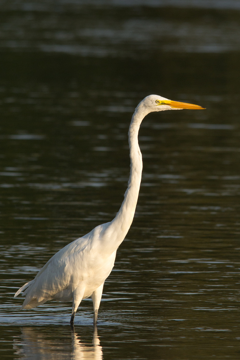Photograph Great Egret by Gail MacLellan on 500px
