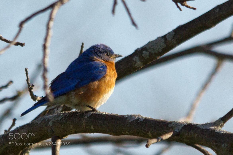 Photograph Eastern Bluebird by Gail MacLellan on 500px