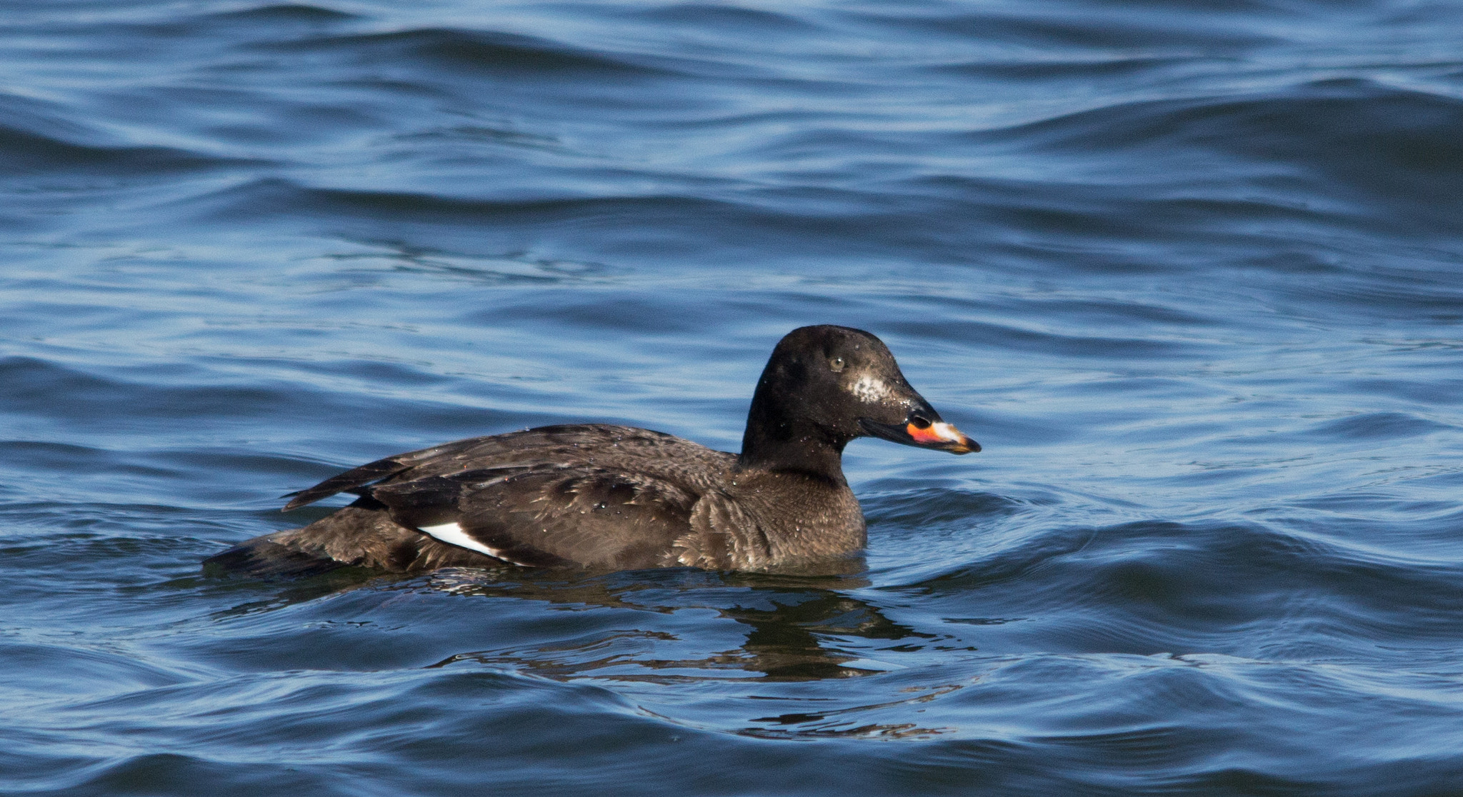Photograph White-winged Scoter by Gail MacLellan on 500px