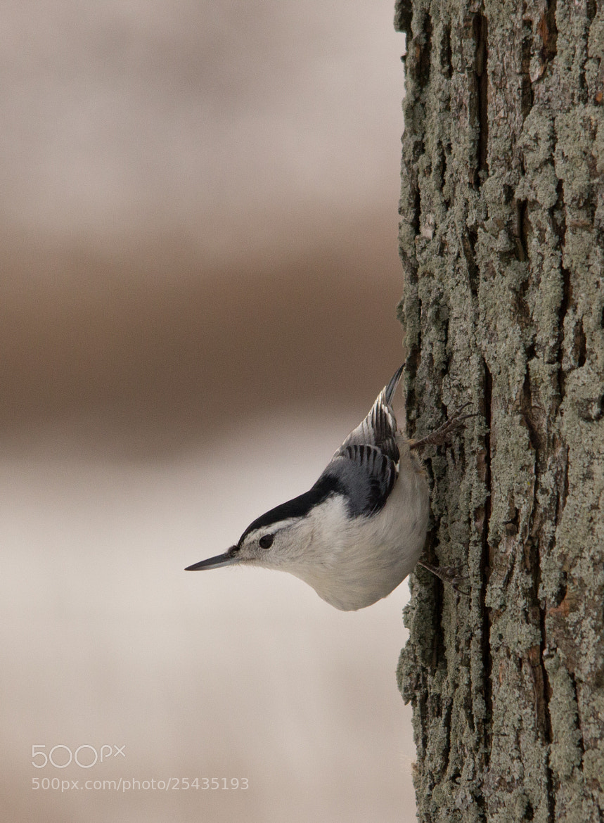 Photograph White-Breasted Nuthatch by Gail MacLellan on 500px